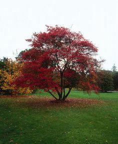amelanchier lamarckii  de natuurvorm in volle herfstpracht