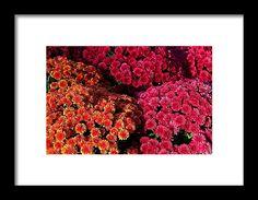 marigolds, orange, red, flower, nature, michiale schneider photography