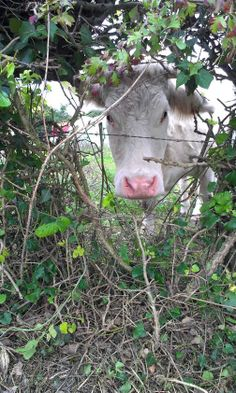 Peekaboo cow