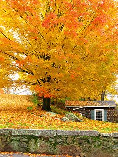 <3 - I had a tree like this in the front yard of my childhood home - it was beautiful every fall - but I hated to rake the leaves!