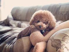 . . おはようさんで〜す😉❤︎ . . #ひなた#ひなくん#いつもの場所#眠いの#しじみ目#ウインク#いやボサボサなだけ#トリミング行ったけど#予想外の仕上がり#女々しい写真はまた今度#愛犬#トイプードル男の子 #いぬすたぐらむ #toypoodle #teddybear #toypoodlelove #toypoodlegram #poodle #poodlelove #dailydog #dogstagram #dogstagram_japan #west_dog_japan #wink #goodmorning #happysunday #hinata #loveu❤️