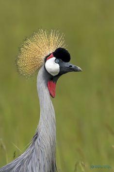 Asaru Kariyil Photography: African Crowned Crane, Location : Masai Mara Kenya | Flickr Wild Birds, Kenya, Crane, African