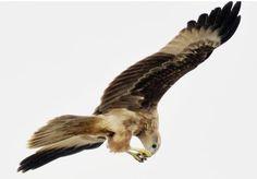 In Majestic flight: Brahminy kite, Point Calimere