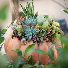 The perfect fall décor! Pumpkins + Succulents Would be beautiful with a white pumpkin.