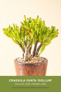 """""""Gollum Jade"""" succulent does well planted in containers! Crassula ovata 'Gollum' """"Gollum Jade,"""" """"Finger Jade"""" This beautiful Crassula has green tubed leaves with bright red tips. It does well planted in containers. Very sensitive to over-watering, so err"""