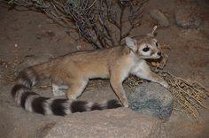 Ring-tailed cat | Ring Tailed Cat (Bassariscus astutus) | Flickr - Photo Sharing!
