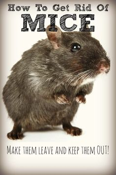 Considering the toxicity of most rodent-control method, it's good to know how to get rid of mice nat Best Pest Control, Bug Control, Mice Control, Mice Repellent, Insect Repellent, Flea Repellant, Getting Rid Of Rats, Mouse Traps, House Mouse