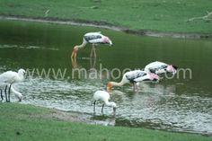 Wading birds - Painted storks feeding.