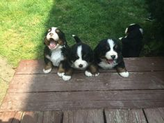 Most of all, they are the cutest… | 23 Reasons Bernese Mountain Dogs Are The Champions Of Our Hearts