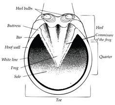 Diagram of the parts of the equine hoof, showing heel bulbs, buttress, bar, hoof wall, white line, frog, commissure of the frog, sole, heel, quarter, and toe.  #horse #equine