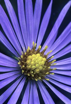 ~~Aster Closeup by Cindy Dyer~~