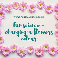Fun science - changing a flowers colour - Mamma & Bear Pretty Flowers, Colorful Flowers, White Flowers, Flowers Instagram, Instagram Posts, Blue Food Coloring, Bloom Where You Are Planted, Flower Show, The Life