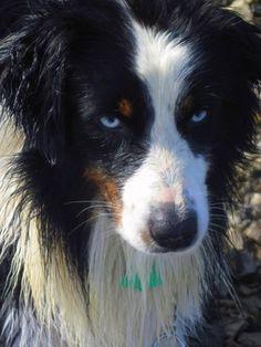 those ice blue eyes...blue eyed tri