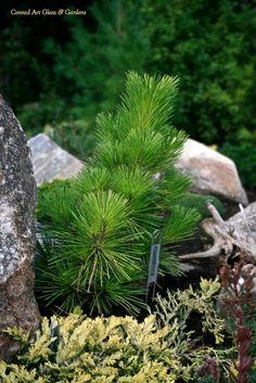 Pinus thunbergiana 'Yatsubosa '
