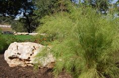 "This is an excellent choice for gardeners wanting a grass with a fine texture and lacy foliage. Its fluffy texture and arching form make for a soft background plant in xeriscape gardens. Planted in sweeps or displayed in large containers, bamboo muhly gives an Asian look to gardens without ""real"" bamboo."