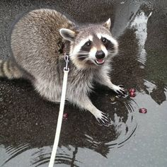 You might consider trading your pet for a raccoon after seeing these. Animals And Pets, Baby Animals, Funny Animals, Cute Animals, Strange Animals, Pet Raccoon, Pretty Animals, Cute Creatures, Animal Tattoos