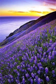 Big Sur, California, USA ~ Purple lupines on the oceanfront cliffs. My first memories of Big Sur were on family vacations as a small child. Beautiful World, Beautiful Places, Beautiful Scenery, Landscape Photography, Nature Photography, Free Photography, Vintage Photography, Travel Photography, Amazing Nature
