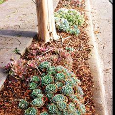 Parking strip succulents.