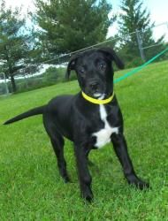 727 Ammo is an adoptable Labrador Retriever Dog in Georgetown, KY. Ammo is a 20lbs Lab mix with a great disposition. He loves to play and is always excited to see you. He is in search of a forever hom...