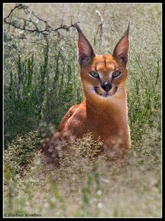 """The word caracal comes from the Turkish word """"karakulak"""", meaning """"black ear"""" Small Wild Cats, Big Cats, Cats And Kittens, Cute Cats, Nature Animals, Animals And Pets, Cute Animals, Lynx, Beautiful Cats"""