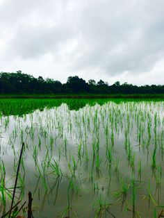 And sometimes ... unknown path leads to unknown happiness - rice fields of Rishikesh, Uttarakhand, India #rain #monsoon #morning #green #nature #earth #IncredibleIndia #iPhone #naturephotography #MyIndia #travel #wanderlust