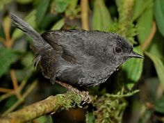 Blackish Tapaculo (Scytalopus latrans) by Cornell_Univ's_Neotropical_Birds_Online - Hugo_Loaiza.