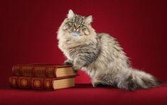 MINUET CAT BREED - The Minuet cat (Napoleon Cat)