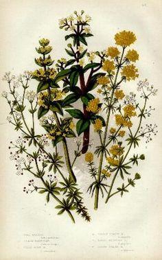Wild Madder, Cross Wort, Smooth Heath Circa 1860