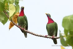 Ptilinopus viridis - Cerca con Google