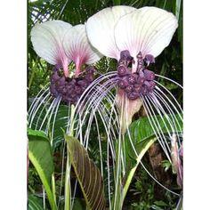 Tacca Integrifolia Seeds (Purple Bat Flower Seeds, Cat's Wiskers Seeds)
