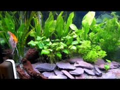 ▶ Fluval Roma 200 Angelfish, Clown Loach, Planted Tank - YouTube