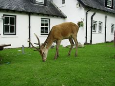 Semi wild deer eating at the Kings Hotel in Glencoe (Scotland)
