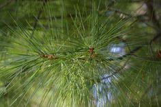 Pine Tree Pines