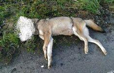Disastro lupi in Piemonte: tre investiti e uccisi in pochi giorni