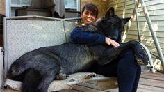 20 perros gigantes que creen que son chihuahuas - Afecto Animal.