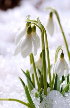 snowdrop from allthingsshabbyandbeautiful.tumblr.com. Okay, so there is one exception to my I don't like cold winters board. I like these!