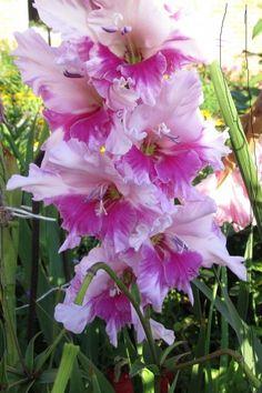 """... Когда купила с десяток луковиц на рынке, тётушка, что их продавала, сказала: дней через десять высади вгрунтна глубину 15 сантиметров, чтобы был """"фундамент"""" для цветка... Опаньки, и ВСЁ, вся инс…"""
