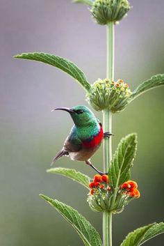I believe this to be an African bird, a sunbird, not a hummingbird. I think (not positive) it is a Lesser Double-Collared Sunbird**********Hummingbird Pretty Birds, Love Birds, Beautiful Birds, Animals Beautiful, Beautiful Gorgeous, Pretty Flowers, Exotic Birds, Colorful Birds, Animals And Pets