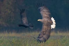 """Chasing a Thief - Early morning just after sunrise the action immediately is on !! Looks like the Raven stole some food of the White-tailed Eagle with which he doesn't seem to happy ?  I'm wishing all of you a wonderful weekend and Happy Holidays my dear friends !!  ©<a href=""""http://www.hewaph.com"""">Harry Eggens</a>  Regards,  Harry"""