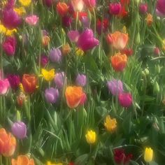 Fantastic Pics Tulip aesthetic Style Long live the tulip ! - Fantastic Pics Tulip aesthetic Style Long live the tulip ! Vegetable this specific extremely colo - Spring Aesthetic, Nature Aesthetic, Flower Aesthetic, Aesthetic Vintage, Aesthetic Photo, Aesthetic Pictures, Aesthetic Style, Aesthetic Plants, Photography Aesthetic