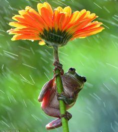 Dumpy Tree Frog (Litoria Caerula) Photo by Ajar Setiadi — National Geographic Your Shot Nature Animals, Animals And Pets, Baby Animals, Funny Animals, Cute Animals, Wild Life, Funny Frogs, Cute Frogs, Dumpy Tree Frog