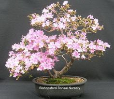 Bishopsford Bonsai Nursery