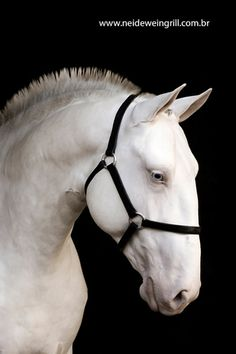 Lusitano horses usually have convex face and dilluted coats are frequent.
