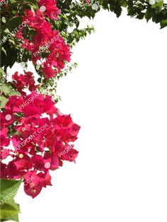 Bougainvillea, Photoshop, Plants, Image, Plant, Planets