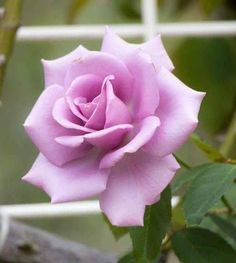 Beautiful Flowers Wallpapers, Beautiful Rose Flowers, Pretty Flowers, Rose Photos, Flower Photos, Purple Roses, Pink Flowers, Rose Plant Care, Rose Reference