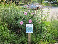 Rain garden year 2 Rain Garden, Year 2, Gardens, Plants, Outdoor Gardens, Plant, Garden, House Gardens, Planets