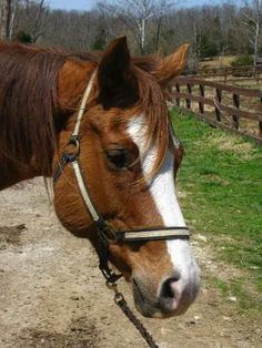 PSW Invested Dude is a 15.1hh great riding gelding with a nice one handed neck rein. Been all over the wooded trails.  Born July 7th, 2003 he is soon to be 11 yrs old. Super cute head with a wide blaze. Laid back personality.  He is easy to catch, lead, trim, groom, load, and stands tied patiently. Dude is not spooky and is an excellent trail horse with a nice walk, trot and canter. Crosses logs and streams, will go up and down hills,  and also has a really nice reverse gear. :) Dude will…