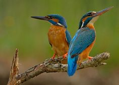 Which is my better side? 1X - Kingfisher (Alcedo atthis) by Stefan Benfer