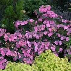 Proven Winners in. Quick Fire Hardy Hydrangea (Paniculata) Live Shrub, White to Pink - The Home Depot Hydrangea Varieties, Red Hydrangea, Hydrangeas, Smooth Hydrangea, Hydrangea Care, Hydrangea Macrophylla, Flowering Shrubs, Trees And Shrubs, Blue And Purple Flowers