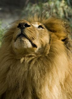 Big Cats, Cool Cats, Cats And Kittens, Animals And Pets, Baby Animals, Cute Animals, Beautiful Cats, Animals Beautiful, Wild Lion